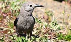Clark's Nutcracker (careth@2012) Tags: bird nature wildlife beak feathers pose britishcolumbia clarksnutcracker nutcracker