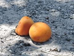 DSCN5130 (keepps) Tags: switzerland suisse schweiz valais martigny apricot fruit