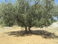 Finca del Nino summer 2017 (LindseyS2008) Tags: fincadelnino periana cantueso olive trees