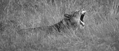 pour rugir de plaisir (rondoudou87) Tags: pentax k1 smcpda300mmf40edifsdm sauvage nature natur parc zoo reynou monochrome noiretblanc noir blanc black blackwhite wildlife wild white lion lionne 7dwf