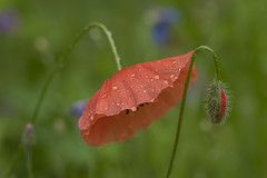 Please... (lkiraly72) Tags: poppy gentle touch please flower plant summer