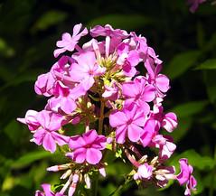 Phlox (carpingdiem) Tags: flowers phl phlox summer indianapolis