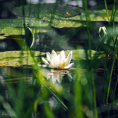Nymphaea alba (Kalev Lait photography) Tags: nymphaeaalba whitewaterrose europeanwhitewaterlily whitenenuphar nymphaeaceae flower wildflowers water waterdrops abstract white green petals dof bokeh plant leaves
