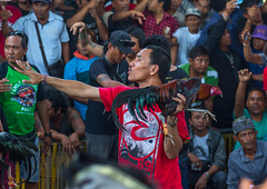 A cock being held back by its handler during a cockfigting event, Bali island, Canggu, Indonesia (Eric Lafforgue) Tags: adultsonly aggressive animals asia asian bali bali3175 balinese bet betting birds blood bloodsport chickens cockfight cockfighting cocks cruel cultural cultures feathers festival fight fighting gamble gambling game groupofpeople horizontal illegal indonesia indonesian menonly roosters sport traditional canggu baliisland