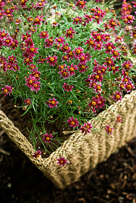 container gardening coreopsis