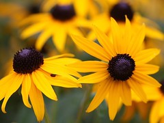 Black-Eyed Susans (donsutherland1) Tags: flowers summer ny newyork nature yellow susan blossoms july bloom 1001nights soe blackeyedsusans blackeyedsusan blackeyed mamaroneck thegalaxy flickraward excellentsflowers awesomeblossoms