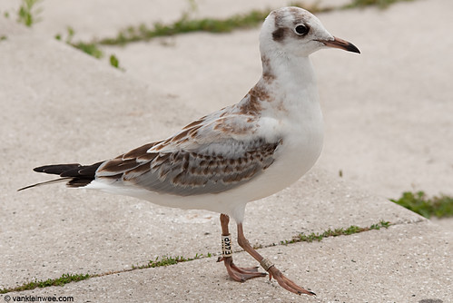Black-headed Gull, 1cy, W[E4KP]