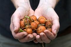 Parisienne Carrots
