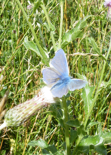 Adonis Blue open wing