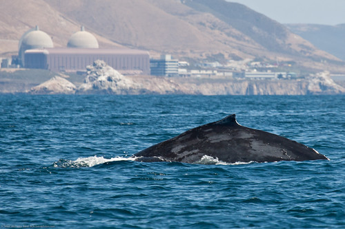 Shown here is a Humpback Whale (Megaptera novaeangliae) at Diablo Nuclear Power Plant