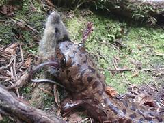 pacific giant salamander range  Pacific Giant Salamander...
