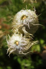Anemone Occidentalis (p medved) Tags: flores nature oregon fleurs hiking flor hike mthood wilderness fiori montaa wildflower fiore montagna mounthood gora mcneilpoint cvijee planina cvet cvee