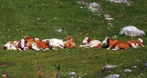 Mucche svaccate Alpe