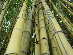 Notice that the stiffest tree is most easily cracked, while the bamboo or willow survives by bending with the wind. - Bruce Lee (jhueilee) Tags: bamboo brucelee sonydscv1 dscv1 mywinners