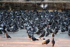 Pigeons (quinn.anya) Tags: light birds turkey pigeons crowd istanbul yenicami newmosque mosqueofthevalidesultan