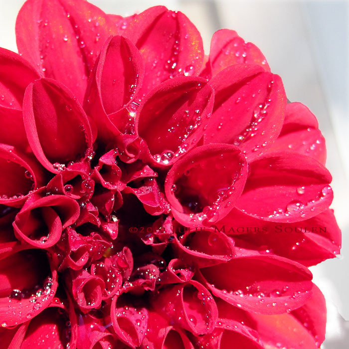 Red Ruffles and Dew Drops