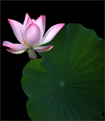 Lotus Flower and the Leaf - IMG_4133-l (Bahman Farzad) Tags: flower macro yoga leaf peace lotus relaxing peaceful meditation therapy    lotusflower  lotuspetal lotuspetals   lotusflowerpetals lotusflowerpetal