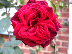 My love is a red, red rose (xwelhamite) Tags: rose rosaceae closeuprose