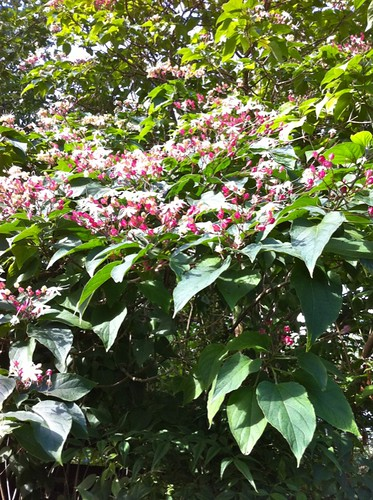clerodendrum harlequin glorybower