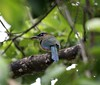 """Blue-Crowned Motmot • <a style=""""font-size:0.8em;"""" href=""""https://www.flickr.com/photos/46837553@N03/4964746560/"""" target=""""_blank"""">View on Flickr</a>"""
