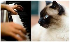 Hoy por ayer (Kris *) Tags: music animal cat canon 350d hands piano manos gato hoy yesterday today música por ayer xkrysx