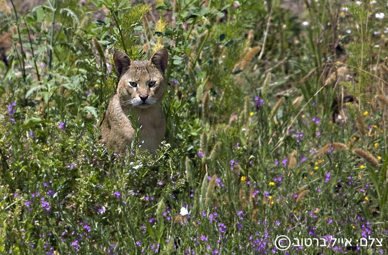 חתול ביצות - צילום: אייל ברטוב