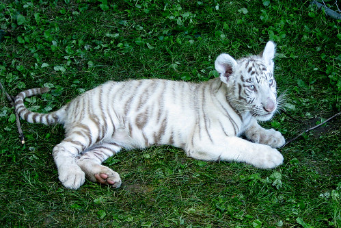 Zoar, Ohio Harvest Festival 2010: Tiger cub.