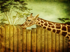253/365: Happy Fence Friday {Safari} Edition! (pixelmama) Tags: project365 2010 september 3652010 fencefriday hff giraffe brookfieldzoo riversideillinois april2009 texture shadowhousecreations frontpage gettyimages pixelmama explore