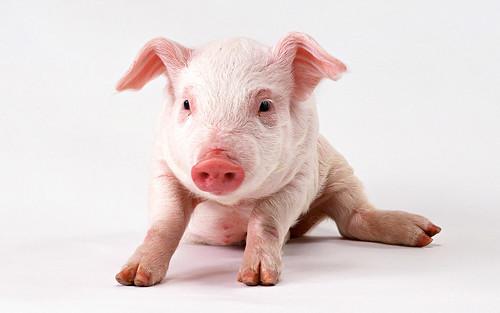 フリー写真素材, 哺乳類, イノシシ科, 豚・ブタ,
