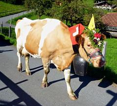 Cow parade down from Alps (will_cyclist) Tags: alps cycling switzerland meiringen grossescheidegg cowsx