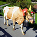 Cow parade down from Alps