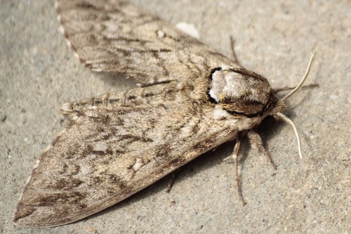 Waved Sphinx moth (2) - Copy