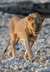 Lion, Etosha