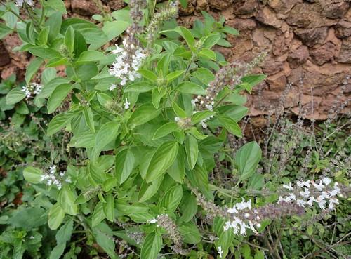 Manjericão florido na horta