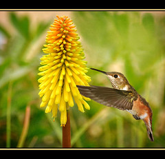 Rufous Hummer ~ Poker Plant (champbass2) Tags: champbass2 nature wildlife garden hummingbird birds birding wings rufous rufoushummingbird yellow flower flowers pokerplant kniphofia texture skeletalmess california northerncalifornia nikon d90 sigma500mm ngc specanimal mywinners