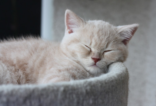 [フリー画像] 動物, 哺乳類, ネコ科, 猫・ネコ, 子猫・小猫, 寝顔・寝ている, 201009171100