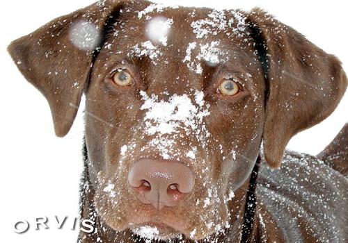 Orvis Cover Dog Contest - Kody Ganache