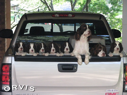 Orvis Cover Dog Contest - Sasha, Uno, & their puppies