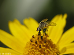 Bee fly #2 (sns85225) Tags: arizona flower macro yellow insect beefly raynoxdcr250