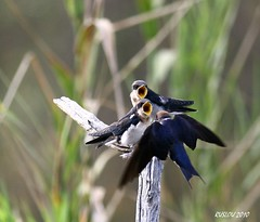 Wire-tailed Swallow (Hirundo smithii) (ruslou (More off than on)) Tags: nature southafrica wildlife krugernationalpark wiretailedswallow hirundosmithii draadstertswael ruslou lakepanichide birdperfect species172