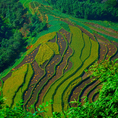 Natural curves (unlimited inspirations) Tags: china sichuan nature land field farm farming curves lines trees terrace agriculture landscape patterns green yellow colours colourful art artwork best scenery beauty beautiful fun love creative attractions asia summer sunlights shadows design travel tourism flickr nikond80 nikon  unlimitedinspirations arial mygearandmesilver mygearandmebronze mygearandmepremium mygearandmeplatinium mygearandmegold mygearandmeplatinum mygearandmediamond artistoftheyearlevel6 artistoftheyearlevel5 artistoftheyearlevel4 artistoftheyearlevel3 aboveandbeyondlevel2 aboveandbeyondlevel1 aboveandbeyondlevel3 rememberthatmomentlevel9 rememberthatmomentlevel1 rememberthatmomentlevel2 rememberthatmomentlevel3 rememberthatmomentlevel4 rememberthatmomentlevel5 rememberthatmomentlevel6 rememberthatmomentlevel7 rememberthatmomentlevel8