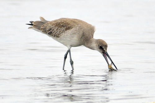 western willet catches crab
