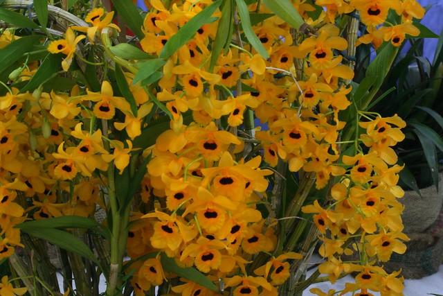 Dendrobium fimbriatum var oculatum