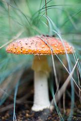 Rotkappchen 1 (Andr Hofmeister) Tags: mushroom grass soil gras pilz fliegenpilz flyagaric erde lyingontheground afnikkor50mm114d ambodenliegendfotografiert