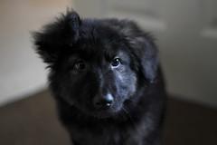 FluffBall (JamieTakes.Photos) Tags: dog puppy shepherd fluffy biscuit german jazzbam