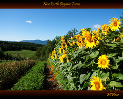 New Earth Organic Farm (MiFleur...Thanks for visiting!) Tags: sunflowers organic farm newearth garden sustainable eatlocal mywinners newearthorganicfarm internship colebrook mifleur yellow jaune wwwmifleurdesigncom nongmo gmofreesansogm