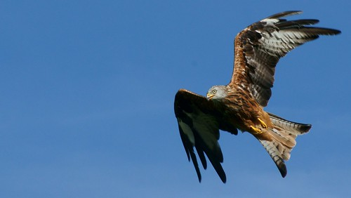 Red Kite, Gigrin Farm, Rhayader