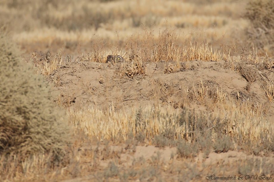 burrowing-owl-34-091910