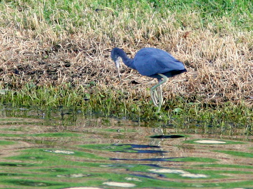 Little Blue Heron 20100919