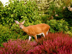 6/365 (alixcarmanphotography) Tags: life red summer green nature animal washington natural deer tacoma wilderness 2010 pointdefiance